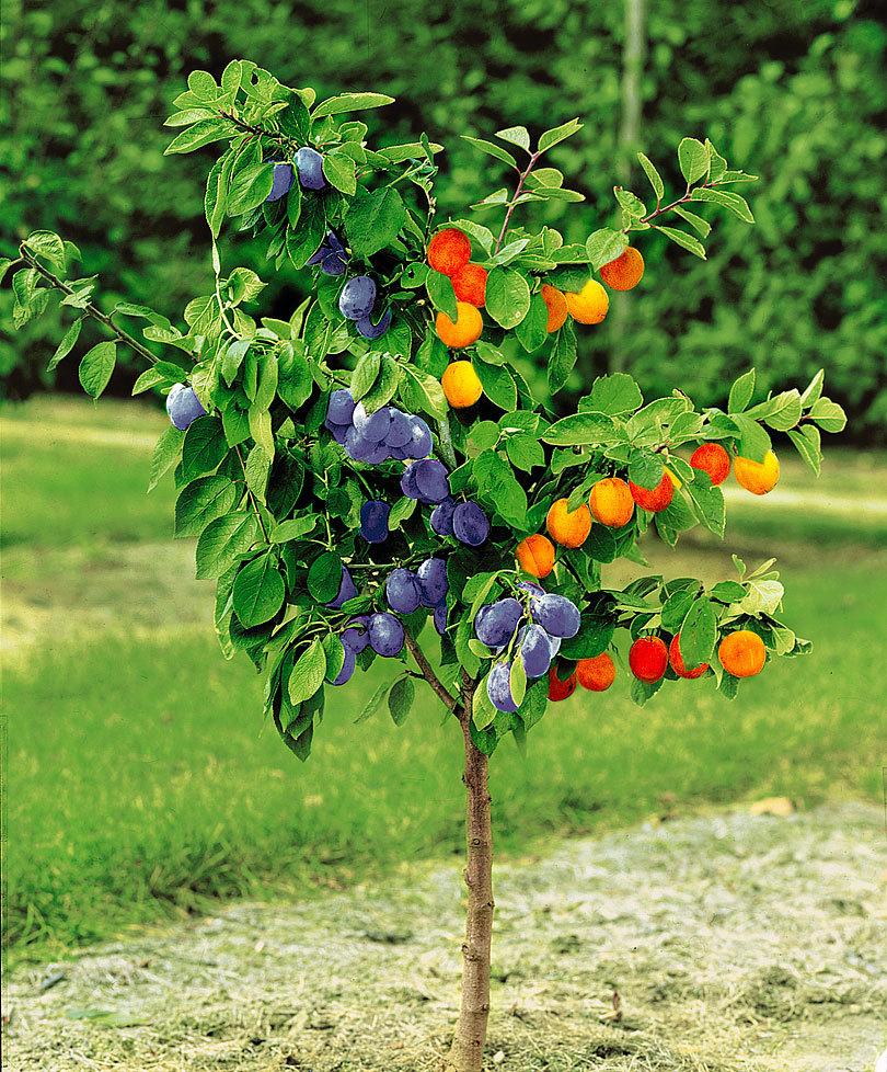 arbre fruitier duo abricot et prune