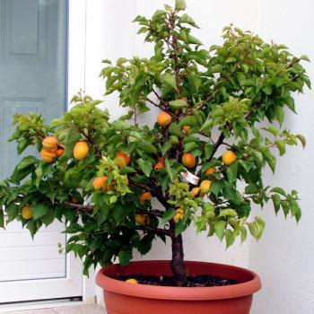 arbre fruitier nain - abricotier