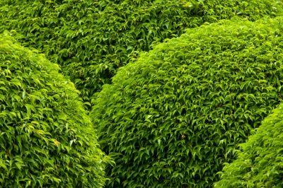 arbuste bien taillé