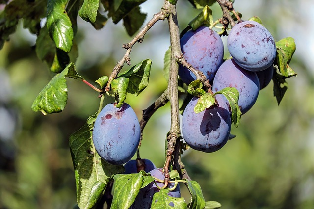 prunier - arbre fruitier